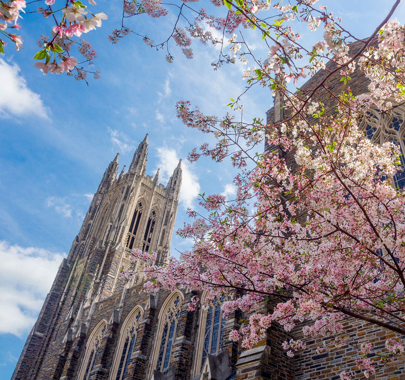 shot of duke chapel through cherry blossom trees in the spring time